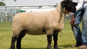 Sheep 02