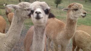 alpacas 5